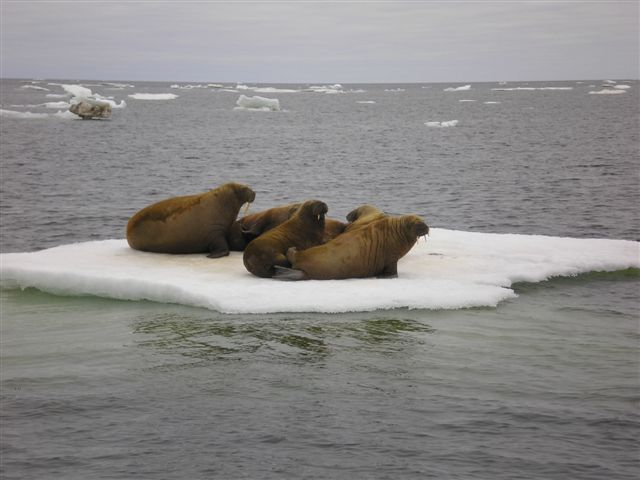 AGXWalrus near to Ostrov Peschanyy